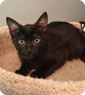 Domestic Shorthair Kitten for adoption in Monroe, Georgia - Smoltz
