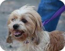 Shih Tzu Mix Puppy for adoption in Allentown, Pennsylvania - Sweetpea