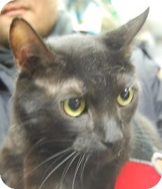 Domestic Shorthair Cat for adoption in Brooklyn, New York - Chancho