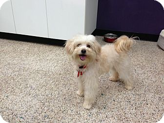 Maltese/Poodle (Toy or Tea Cup) Mix Puppy for adoption in Thousand Oaks, California - Kira