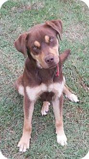 Labrador Retriever/Rottweiler Mix Dog for adoption in Stillwater, Oklahoma - Twix