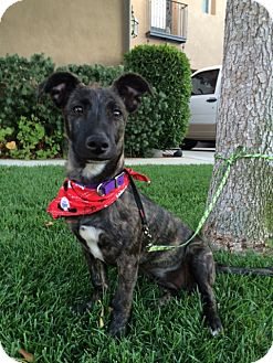 Corgi/Basenji Mix Dog for adoption in Corona, California - KYRA, small brindle!