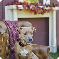 Adopt A Pet :: Lola - Des Peres, MO