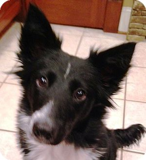 Border Collie/Sheltie, Shetland Sheepdog Mix Puppy for adoption in Hagerstown, Maryland - Christmas Cookie