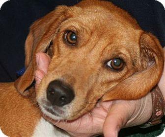 Beagle Mix Dog for adoption in El Cajon, California - Darla