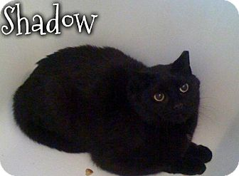Domestic Shorthair Cat for adoption in River Edge, New Jersey - Shadow