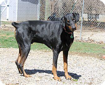 Doberman Pinscher Dog for adoption in New Richmond, Ohio - Bear
