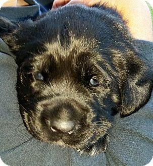 Newfoundland/Pointer Mix Puppy for adoption in Savannah, Georgia - Mary Jane