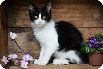 Domestic Mediumhair Cat for adoption in Germantown, Maryland - Bonnie