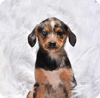 Cattle Dog Mix Puppy for adoption in Groton, Massachusetts - Merry