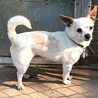 Adopt A Pet :: Chakito - Grantville, PA