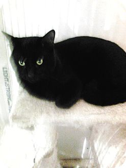 Domestic Shorthair Cat for adoption in Rochester, Minnesota - Panther