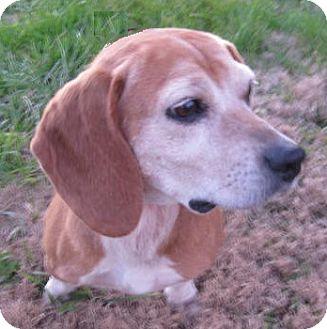 Beagle Dog for adoption in Huntsville, Alabama - Holly