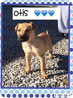 Boxer/Labrador Retriever Mix Puppy for adoption in Harrisonburg, Virginia - Otis (Pom)