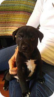 Pit Bull Terrier/Labrador Retriever Mix Puppy for adoption in Atlanta, Georgia - Stanley