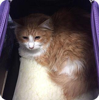 Domestic Mediumhair Cat for adoption in LOS ANGELES, California - Cooper