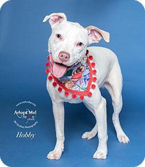 Pit Bull Terrier/Boxer Mix Dog for adoption in Houston, Texas - Hobby
