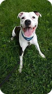 American Pit Bull Terrier Mix Puppy for adoption in South Park, Pennsylvania - Morgan