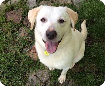 Labrador Retriever Mix Puppy for adoption in Lewisville, Indiana - Olaf