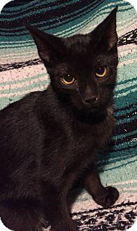 Domestic Shorthair Cat for adoption in Woodstock, Ontario - Hudson