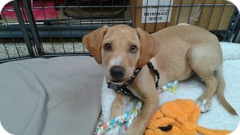 Labrador Retriever/Golden Retriever Mix Puppy for adoption in Thousand Oaks, California - Christof