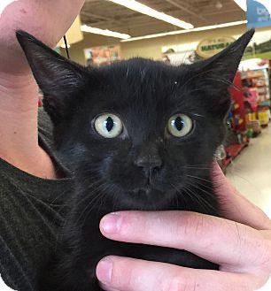 Domestic Shorthair Kitten for adoption in Meridian, Idaho - Joker