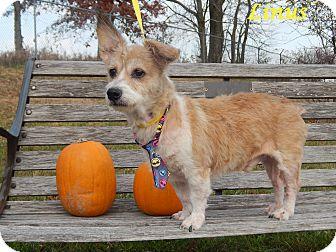 Corgi/Terrier (Unknown Type, Small) Mix Dog for adoption in Bucyrus, Ohio - Linus