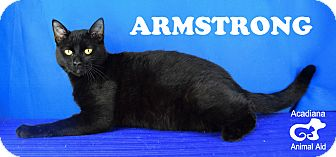 Domestic Shorthair Cat for adoption in Carencro, Louisiana - Armstrong