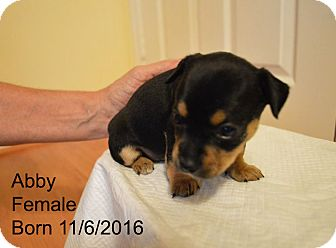 Chihuahua Puppy for adoption in Davie, Florida - Abby