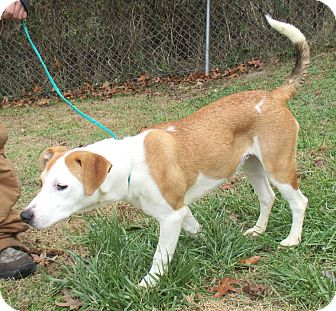Pointer Mix Dog for adoption in Reeds Spring, Missouri - Chantilly