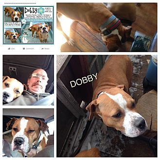 Boxer/American Pit Bull Terrier Mix Dog for adoption in East Stroudsburg, Pennsylvania - Dobby