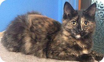 Domestic Mediumhair Kitten for adoption in Valley Falls, Kansas - Toph