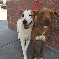Adopt A Pet :: Honey - Oklahoma City, OK