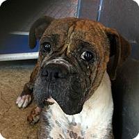 Adopt A Pet :: Chief - Austin, TX