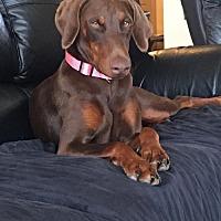 Adopt A Pet :: Caleigh - Houston, TX