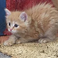 Adopt A Pet :: Oliver - Prescott, AZ
