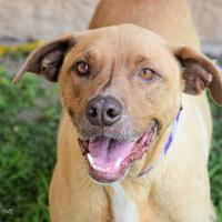 Adopt A Pet :: Iron Man - Georgetown, TX