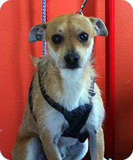 Wirehaired Fox Terrier/Chihuahua Mix Dog for adoption in Alturas, California - Peppy