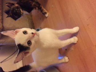 Domestic Shorthair Cat for adoption in San Jose, California - Riley