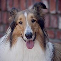 Adopt A Pet :: Piper - Gardena, CA