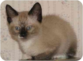Ragdoll Kitten for adoption in Davis, California - Togo