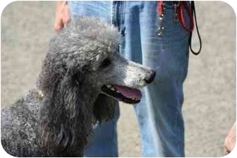 Poodle (Standard) Dog for adoption in Colebrook, New Hampshire - Steven