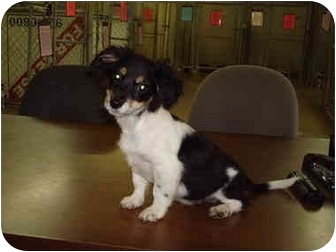 Dachshund/Jack Russell Terrier Mix Puppy for adoption in Baton Rouge, Louisiana - John Boy
