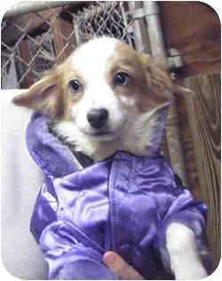 Chihuahua Mix Dog for adoption in Loudonville, New York - Allie