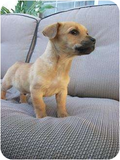 Chihuahua Mix Puppy for adoption in Simi Valley, California - Ace