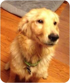 Golden Retriever Mix Puppy for adoption in Knoxville, Tennessee - Macy