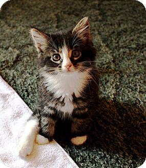 Domestic Mediumhair Kitten for adoption in Nolensville, Tennessee - Sasha