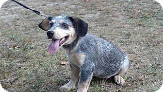 Australian Cattle Dog Mix Dog for adoption in Hartford, Connecticut - Zoe
