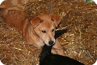 Shepherd (Unknown Type) Mix Puppy for adoption in Morgantown, West Virginia - Dusty