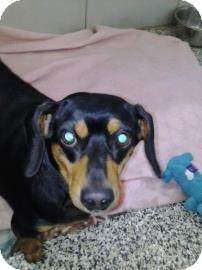 Dachshund Dog for adoption in Jackson, Michigan - Gabby